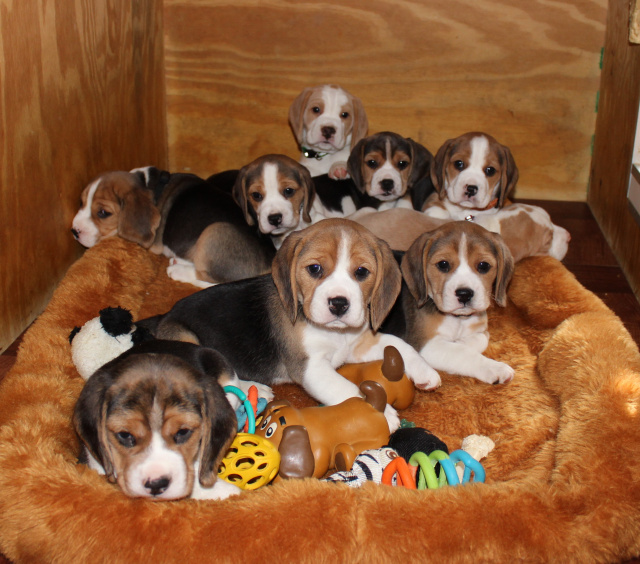 newest bd70b 361e8 New Jersey Beagles - New Jersey beagle breeder ...